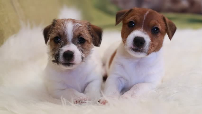 Two puppy jack russell terrier #14541190