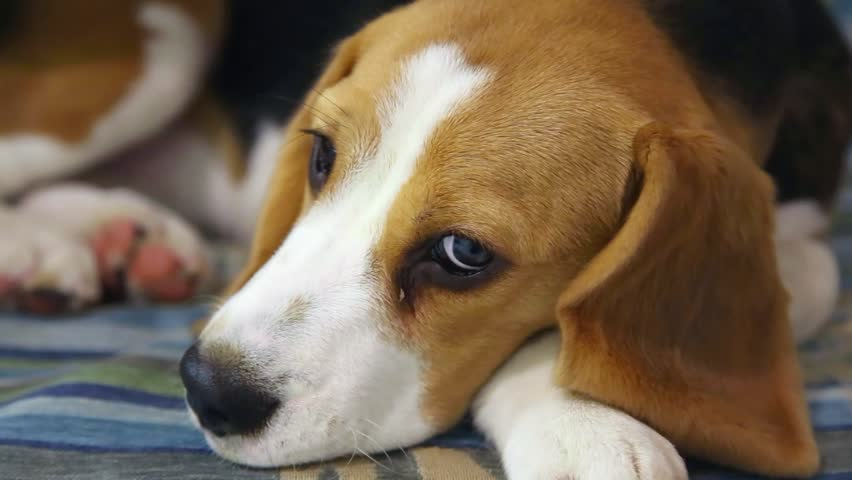 Amazing Video Beagle Adorable Dog - 12  Pictures_924753  .resize(height:160)