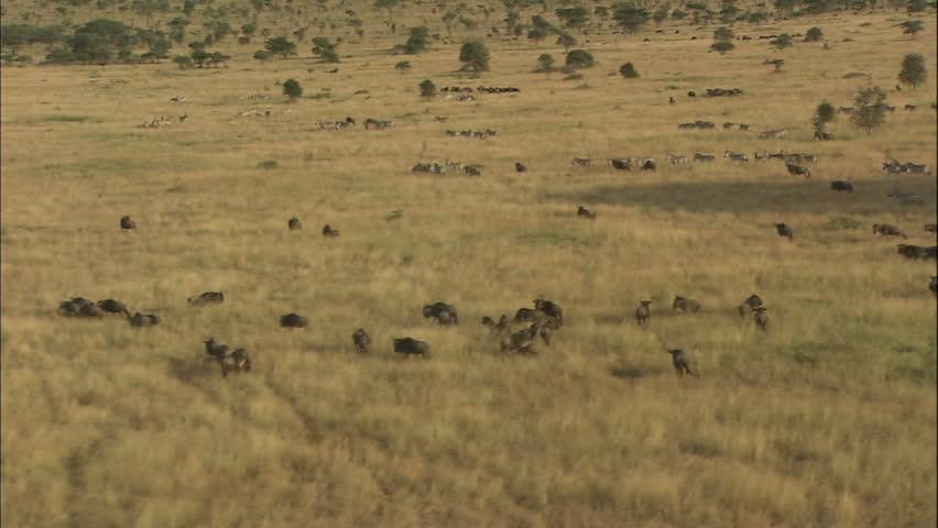 Wildebeest and Zebra Migration, Africa, Aerial View