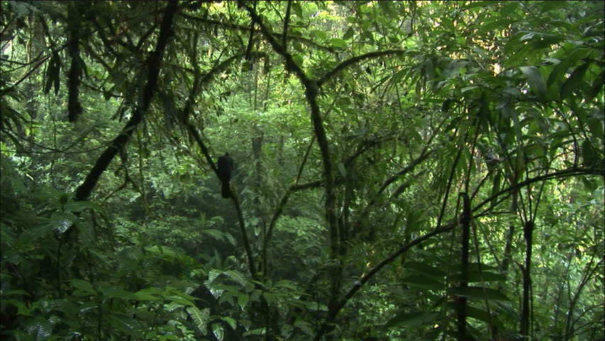 Costa Rican Jungle Interior With Lush Foliage And Bird Silhouette
