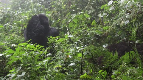 Mountain gorilla (gorilla beringei beringei)  Silverback Munyinya  from Hirwa group