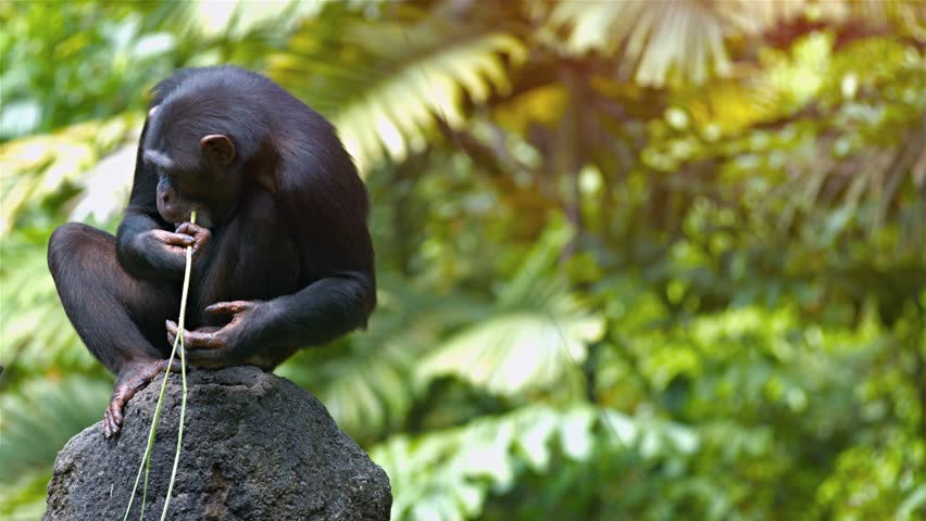 Mature chimpanzee perches on a rock while chewing on a grass stalk in her habitat enclosure at a popular. public zoo. Video 3840x2160