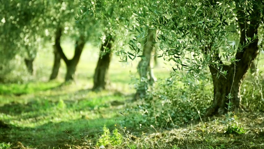 olive green tree growing in stock footage video 100 royalty free 14839213 shutterstock