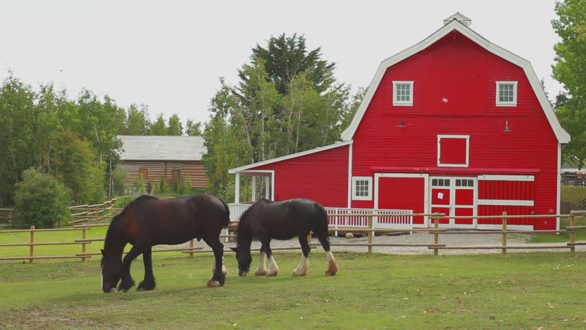 Draft horses in paddock with red barn