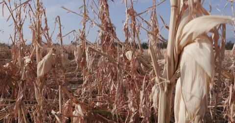 4K Moving shot of corn fields devastated by drought and hail