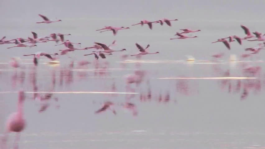 Beautiful footage of pink flamingos in early morning light on Lake Nakuru, Kenya.