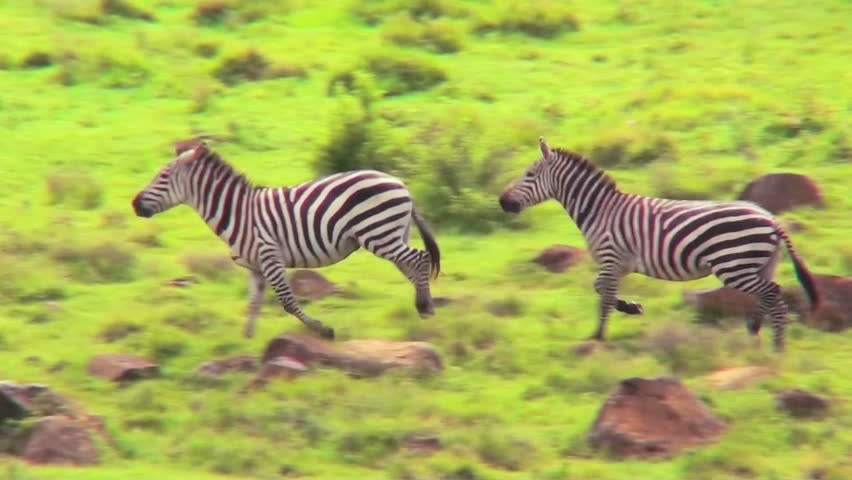 Zebras running in a field in Africa.