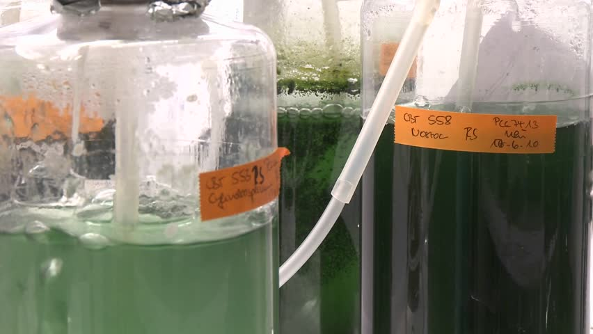 Three flasks containing algae being aired under laboratory lighting conditions. Cultures of cyanobacteria being fed carbon dioxide.