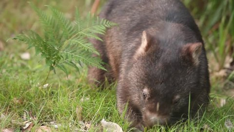 Australian wild wombat eating grass