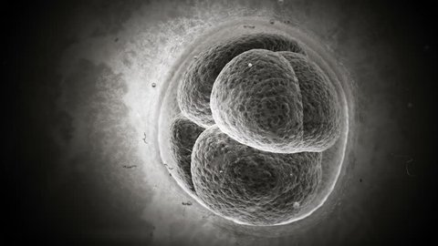 Human cell mitosis, dividing. Initial state of embryo in pregnancy. Time lapsed. In Photoreal look, Gray gradient.