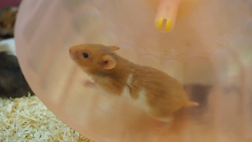 les hamstervid noir Latina lesbienne