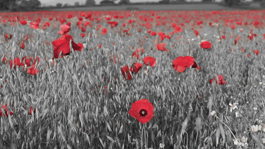 Red Isolated Poppies in a Stock Footage Video (100%