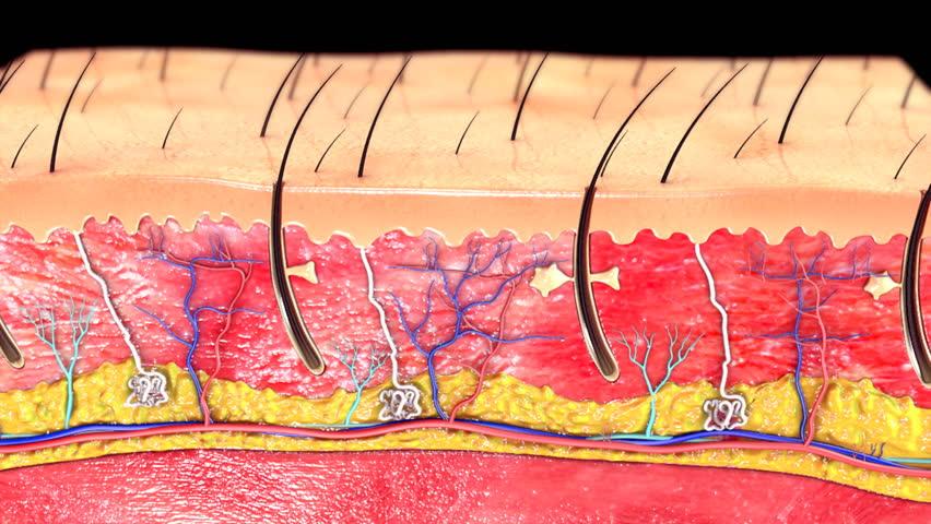 Skin Anatomy Stock Footage Video 15232243 Shutterstock