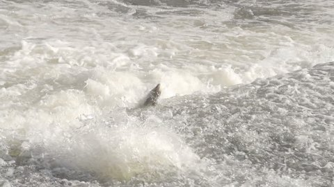 Salmon Jumping Over Weir In River Rapids. Shot in slow Motion for super action shots of the fish leaping.