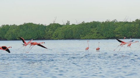 pink flamingos flying on water surface tracking shot slow motion rio lagartos lagoon mexico