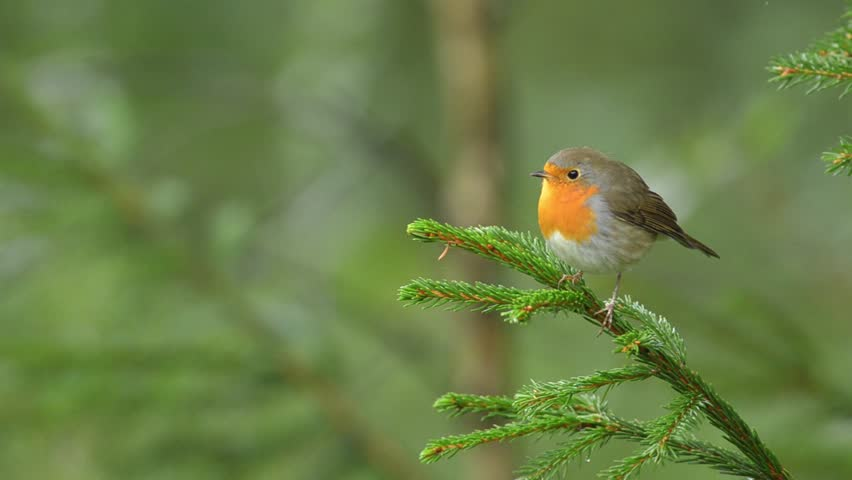 European Robin in the natural green forest environment. | Shutterstock HD Video #15424663