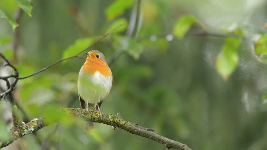 European Robin singing in the natural green forest environment. | Shutterstock HD Video #15424723