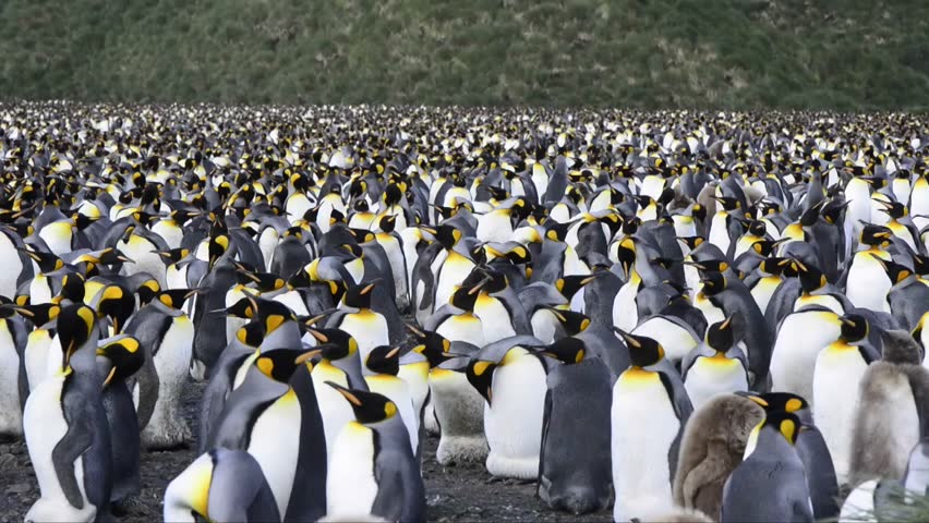 King Penguin Colony Stock Footage Video (100% Royalty-free ...