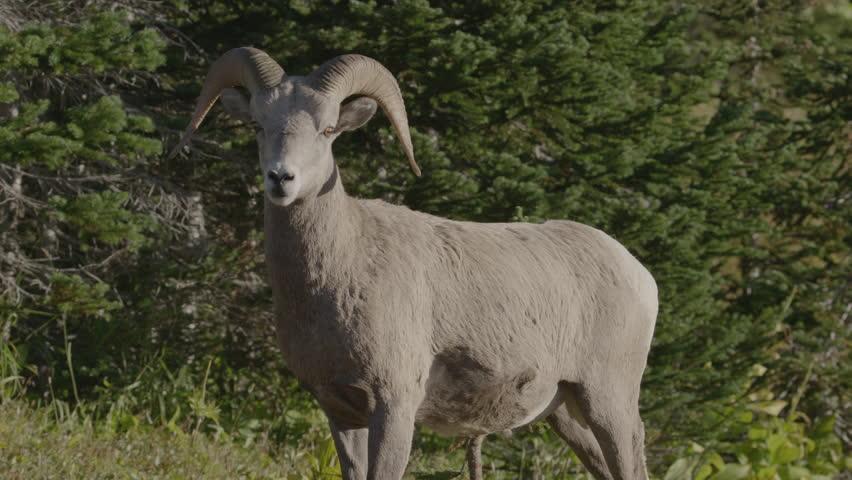 Bighorn sheep ram in profile. Glacier National Park, Montana.  4K.