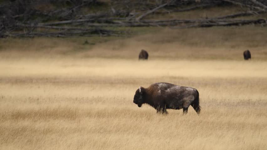 Amazing shot of massive bull bison buffalo walking through golden meadow.  Yellowstone National Park, Wyoming and Montana, USA. 4K.
