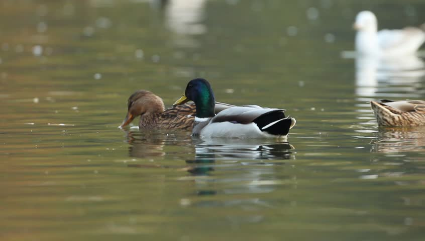 Mallards Floating On Water On A Late Autumn Afternoon | Shutterstock HD Video #1562113