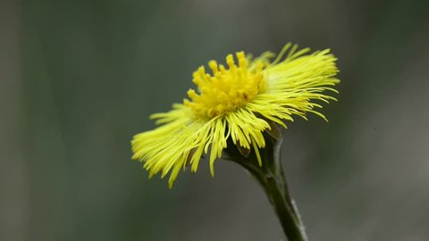 Coltsfoot flower in spring