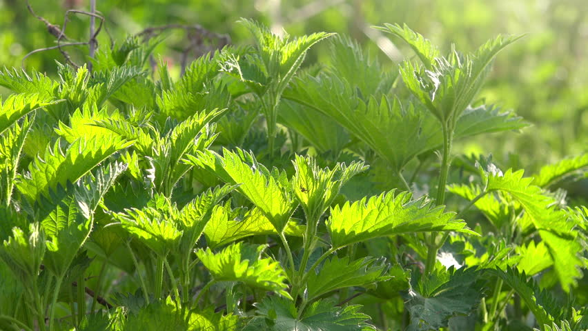 Stinging nettle or common nettle, a plant often used as a source of medicine, food and fiber.