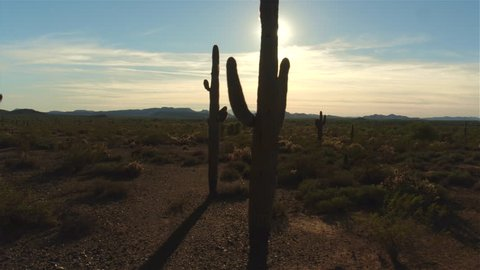 AERIAL: Flying pass big amazing cactus in vast desert valley in western America. Sunset sun shining through the cactus