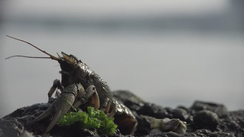 Crayfish climbed on rock and basking in sun, cancer woke up after winter, background water, San Francisco CA, United States | Shutterstock HD Video #15753763