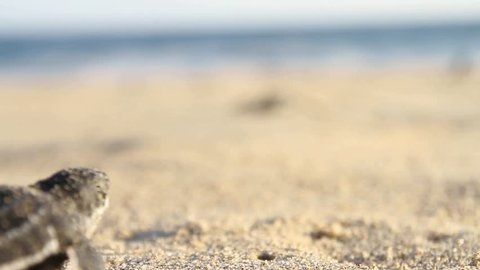 small laud turtle going searching for ocean