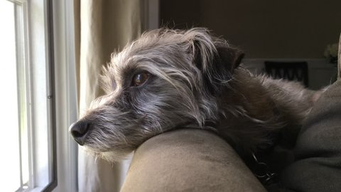 Little terrier dog resting head on back of couch looking out of window with sad and lonely expression