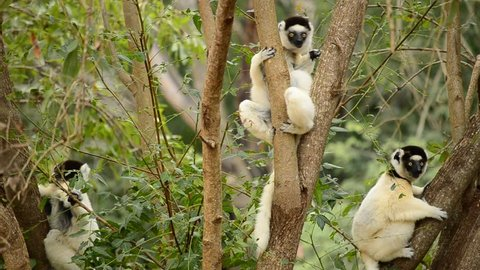Wildlife documentary film lemurs of Madagascar in natural forest habitat. Propithecus verreauxi dancing sifaka, verreaux's sifaka jumping, eating leaves in the tree, Berenty Nature Reserve, Madagascar