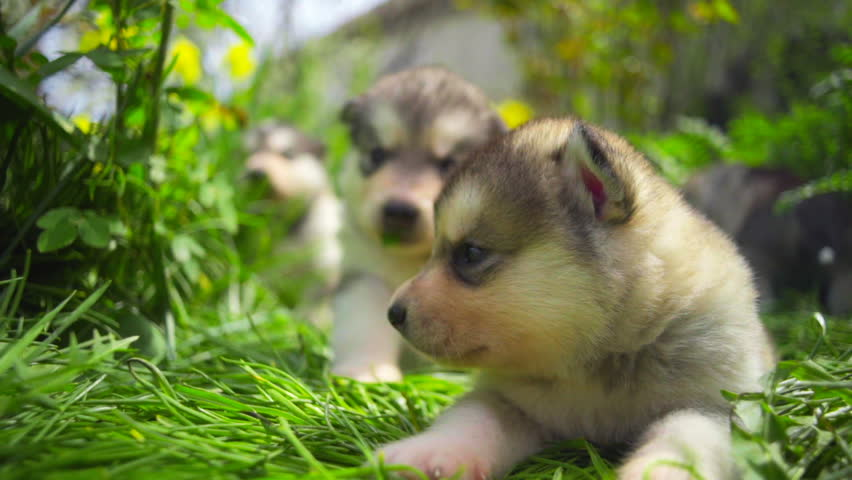 cute newborn malamute puppies in the garden slow motion