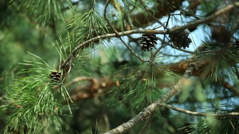 Pine branches with cones swaying in the wind. Close-up