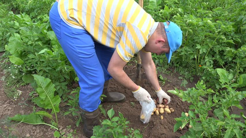 peasant man pick harvested fresh potatoes to polythene bag in garden plantation static shot