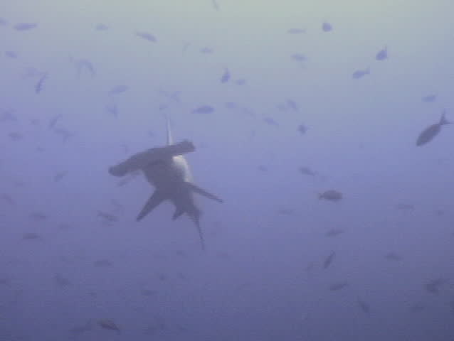 hammerhead shark fish