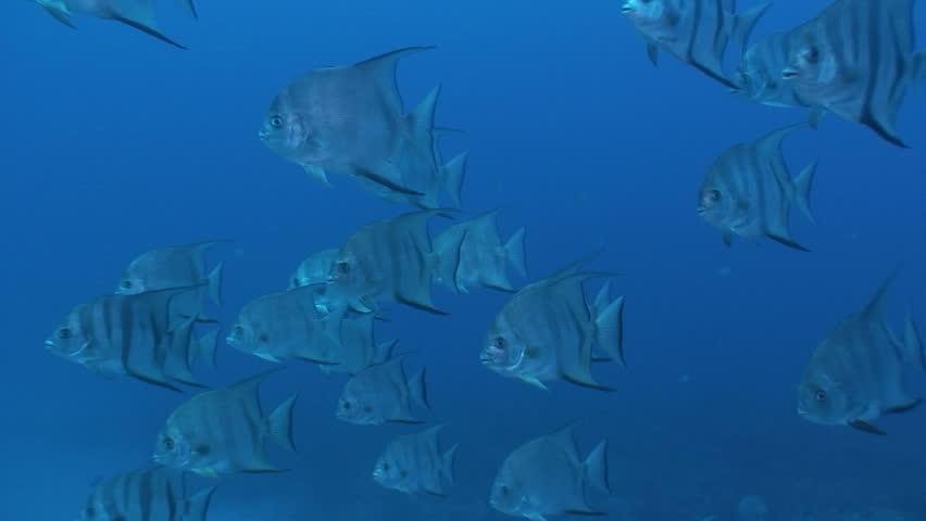 Spadefish   Shutterstock HD Video #1602553