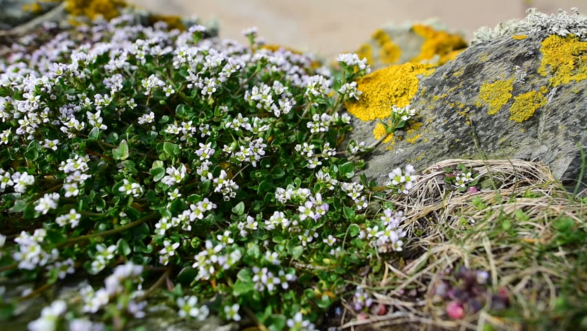 Header of sandwort