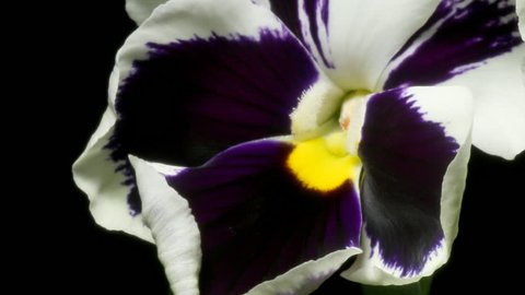 Time-lapse of pansy(Viola tricolor var.) flowers blooming. Studio shot over black.