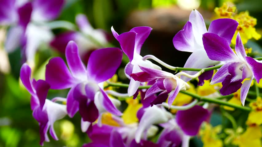 Beautiful Orchid flowers blooming in the garden.