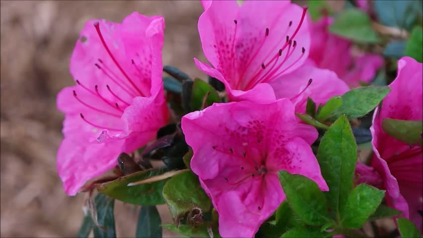 pink azalea bloom