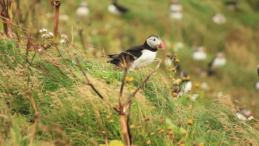 Atlantic Puffin considering a launch in heavy storm on Iceland