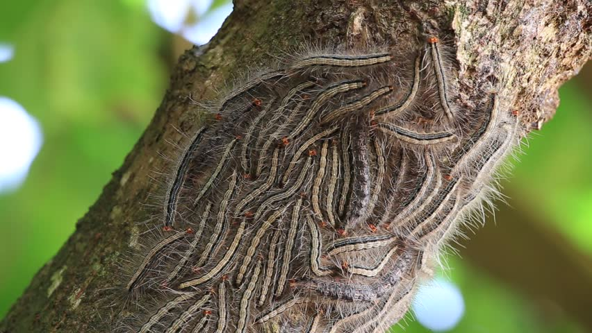 Eastern Tent Caterpillars On The Nest In A Tree. Mirissa Sri Lanka . Close Up Stock Footage Video 16172743 | Shutterstock : eastern tent moth - memphite.com