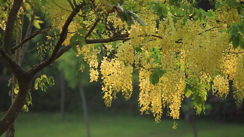 Cassia fistula flower, golden shower tree at noon