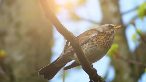 Fieldfare (Turdus pilaris) is member of thrush family Turdidae. It breeds in woodland and scrub in northern Europe and Asia. It is strongly migratory, moving south during winter.