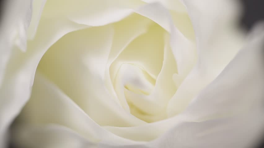 Slowly revolving white rose flower with black background #16317844