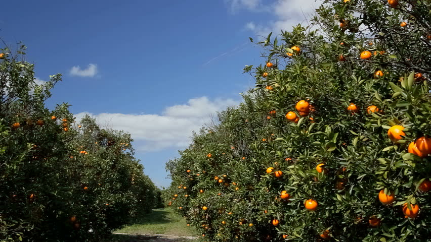 Oranges ripen in Florida grove on sunny breezy day