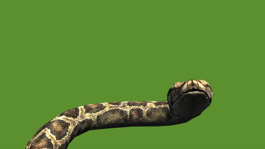 Snake & jungle carpet python open mouth attack,sliding decorative non venomous,wild animal herpetology background. cg_01976