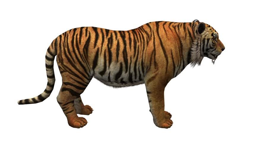 Tiger open mouth roar,wildlife animals habitat.stripes pattern. cg_02060