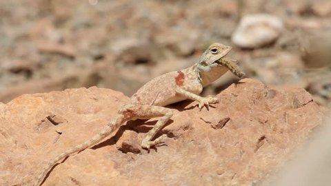 Agama lizard on a rock Close shot Agama lizard on a rock